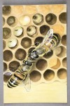 The Life of the Honey Bee © Ladybird Books Ltd, 1969 Reproduced by permission of Ladybird Books Ltd.